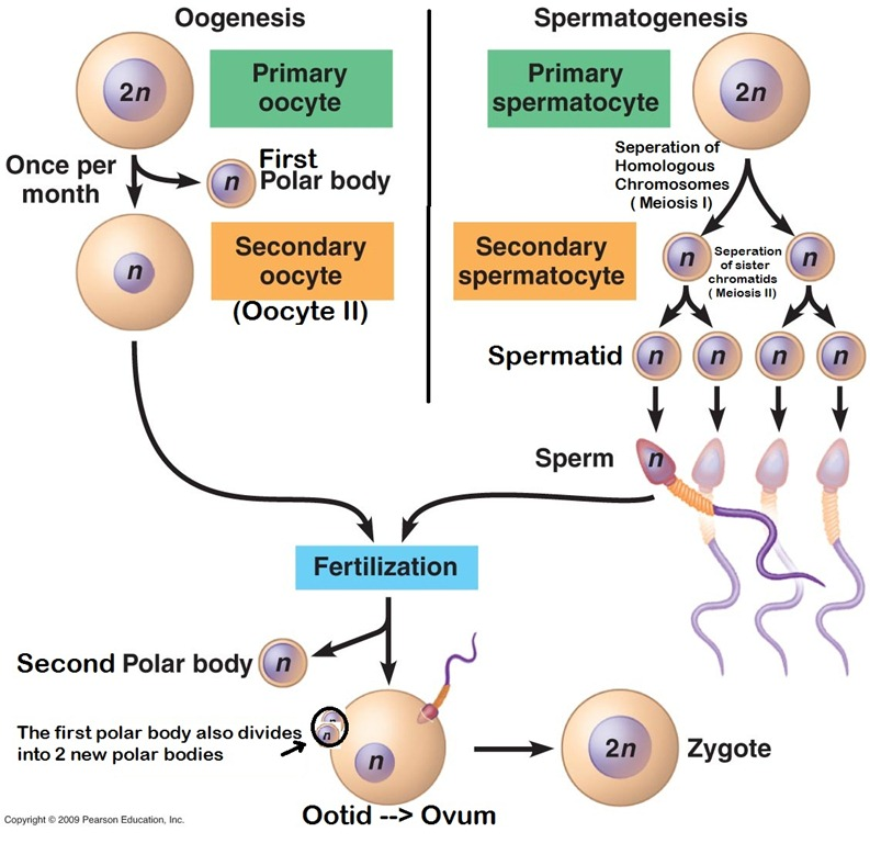 cell reproduction Chromosomes align along the equator of the cell chromosomes move to opposite poles of the cell chromatids coil to form chromosomes cytokinesis divides the cytoplasm 7 at the end of this.