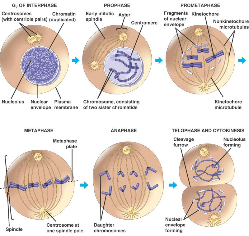 Mitosis' stages - Cell Division