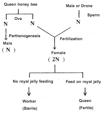 Advantages of sexual reproduction honey bees